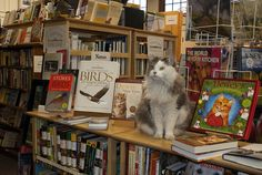 "Bella aka Bella Fuzz- bookstore cat at Village Square Booksellers in Bellows Falls, VT.  ""Anyone for some Birding?"""