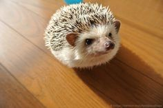 Marutaro the hedgehog