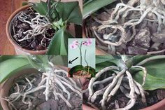 Composite of four phalaenopsis plants Orchid Roots, Indoor Plants, House Plants, Bonsai, House Design, Gardening, Paisajes, Flowers, Roots