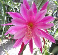 Epiphyllum VICKI