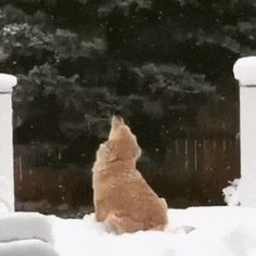 Golden Retriever's first Snowflakes .... awwww #goldenretriever #dogs