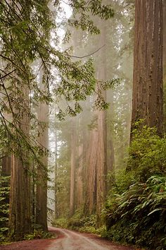Morning fog in the Coast redwood forest near Crescent City, California.