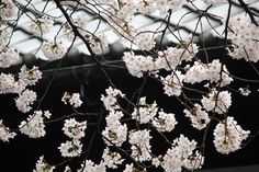 #cherry blossoms, #full bloom, #spring, #beautiful, #garden,