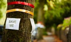 Sheffield residents campaigned to save mature lime trees which the city council earmarked to be felled .