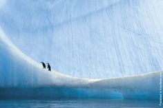 Young chinstrap penguins resting on an ice floe at the Anvers Island, Antarctica