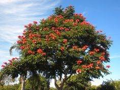 africantuliptree - Google Search