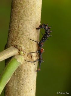 Net-winged Beetle Larva by Andreas Kay Beautiful Bugs, Beetle, Insects, Animals, Bicycle Crunches, Beetles, Beetle Insect