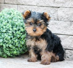 🌸🧡Here come some adorable #YorkshireTerrier puppies to capture your heart. These sweethearts are very #sweet, #gentle, #cuddly, #spunky, and #fulloflife. Your life will be filled with lots of puppy kisses! #Charming #PinterestPuppies #PuppiesOfPinterest #Puppy #Puppies #Pups #Pup #Funloving #Sweet #PuppyLove #Cute #Cuddly #Adorable #ForTheLoveOfADog #MansBestFriend #Animals #Dog #Pet #Pets #ChildrenFriendly #PuppyandChildren #ChildandPuppy #LancasterPuppies www.LancasterPuppies.com