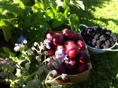 Central Otago hot summers bring out the sweet intense flavours in fruit. What a pleasure there is in picking sunripened fruit from the garden.