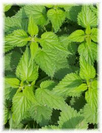 Stinging nettle contains natural antihistamines and anti-inflammatories (including quercetin), that open up constricted bronchial and nasal passages, helping to ease hay fever, and nose & sinus type allergies symptoms.