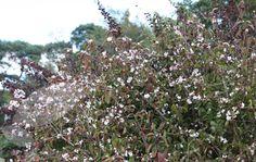 Viburnum bodnantense 'Dawn' 2.5mH x 1.5m S