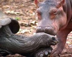 In 2004 a tsunami swept a family of hippos in Africa out to sea, leaving a baby hippo stranded on a reef. A volunteer managed to rugby tackle the animal to rescue him and the baby was named Owen in his honor. Owen, however, was frightened and confused, so when he was released in an animal sanctuary, he ran to a 130-year-old tortoise named Mzee and cowered behind him. Mzee eventually