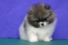 pictures of pomeranians | Parti Pomeranian. Female, age of 38 days