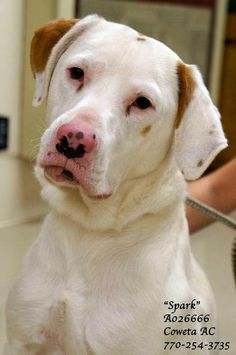 SPARK~URGENT! Lab Retr/ Setter Mix Neutered Male 1Yr.  70 lbs  #A026666 Vaccinated  Heartworm Pos.  CONTACT COWETA COUNTY ANIMAL CONTROL TO ADOPT 91 Selt Road, Newnan, GA. (770) 254-3735   Such a SWEET & LOVING fella. Very laid back & nothing seems to upset him. Heartworm positive-TREATABLE! This pup is worth the cost of the treatment. Such an affectionate boy. Can you open your heart to this sweetie? Intake: 11/18/13! NOTE: CCAC CAN'T ADOPT ONLINE/OVER PHONE. ADOPTIONS MUST BE DONE IN…