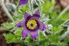 Springtime season - beautiful purple flowers blooming in a garden