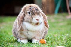 Recent is aan het licht gekomen dat het RHD2 virus zowel in België als in de buurlanden aan de oorsprong ligt van een hoge konijnensterfte. Dit virus veroorzaakt het viraal hemorragisch syndroom (RHD) bij konijnen.