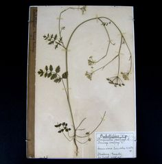 Vintage French Botanical Specimen c.1929 Herbarium Page  Pressed Plant Flower