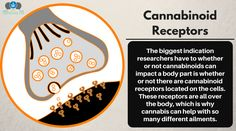 If you've got a cannabinoid receptor on it, CBD can probably help. Our bodies are covered in these receptors which is why cannabis is such a valid treatment for so many ailments! #cbdOIL #CANNABIS #cbd