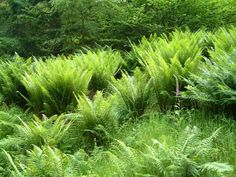 Bracken_and_Ferns_in_the_Quantock_Hills_and_Forest.JPG 1,280×960 pixels