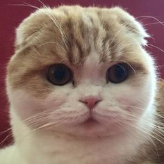 I love the faces of Scottish Folds! Little teddy bear cats Cute Cats And Kittens, Cool Cats, Kittens Cutest, Baby Animals, Funny Animals, Cute Animals, Scottish Fold Kittens, Funny Animal Photos, Cat Sleeping