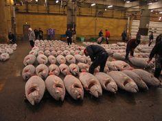 Tsukiji Tuna and Fish Market