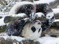 Fu Hu, a panda cub born at Viennas' Schönbrunn Zoo in November of 2010 experiencing the joy of romping in the first snow of his life because he spent all last winter in his birthing box. Photo Credit: Daniel Zupanc