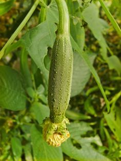 Grow a loofah in your garden! Tips on how to grow loofah gourds in your back yard & harvest loofah sponges or edible loofah gourds from GoGardenGo.