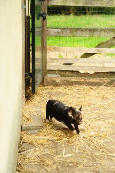 Zwijnstein's Kunekunes - Hobbyfokker van zeldzame Kunekune varkens - Small scale breeder of rare Kunekune pigs