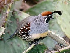 Gambel's Quail.  Named after naturalist William Gambel.  Saw quite a few of these in Tucson, AZ