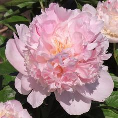Hollingsworth Peonies - Angel Cheeks