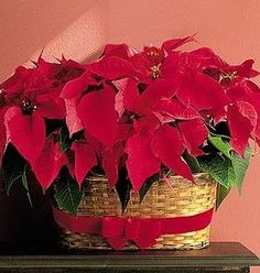 DOUBLE BLOOMING POINSETTIA GARDEN - Celebrate the holiday season with the season's most popular plant, the poinsettias. These 2 plants are decorated with wired ribbon and hand delivered across the USA Poinsettia Flower, Christmas Decorations, Christmas Ornaments, Wired Ribbon, Blossom Flower, Blue Christmas, Merry And Bright, Happy Thanksgiving, Natural