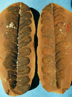 Alethopteris sullivanti - Fossil Plants - Gallery - The Fossil Forum