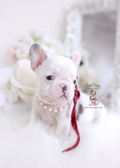 Browse tiny French Bulldog puppies for sale by TeaCups, Puppies & Boutique of South Florida! We carry blue Frenchie puppies and more! Pied French Bulldog, White French Bulldogs, Cute French Bulldog, French Bulldog Puppies, Frenchie Puppies For Sale, Toy Puppies, Blue Frenchie, Teacup Puppies For Sale, Yorkie