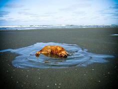 Ollie the golden retriever in Ocean Shores, Washington
