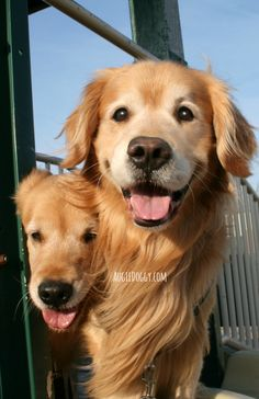 Fun at the playground! #goldenretriever