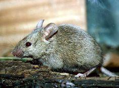 Mysz domowa : gatunek gryzonia z rodziny myszowatych.Mysz domowa, odznaczając się doskonałymi zdolnościami adaptacyjnymi, pojawiła się w domostwach ludzkich prawdopodobnie od początków ludzkiej gospodarki rolniczej.