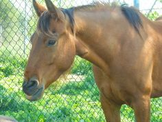 Buddy is an adoptable Grade Horse in Nicholasville, KY. We have looked for a long while for our Buddy Boy a wonderful home. He has been with us for years and has actually become somewhat of a star at ...