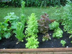 Sow lettuce and fast growing herbs like cilantro every couple of weeks so you always have a fresh supply.
