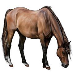Golden Heart, Pferd Araber Brauner #22218983 - Howrse