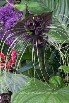 Bat flowers plant