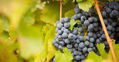 O chá das folhas de uva é uma excelente alternativa para quem pretende amenizar os problemas digestivos ou ocasionados pelas varizes.