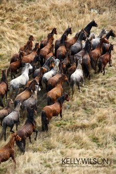 Kaimanawa Muster (Kelly Wilson) - Pferdefreunde Horses our friends - All The Pretty Horses, Beautiful Horses, Animals Beautiful, Beautiful Creatures, Andalusian Horse, Friesian Horse, Arabian Horses, Majestic Horse, Black Horses