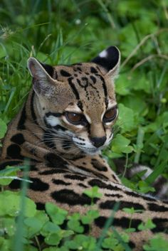 Margay Wild Cat Found Mimicking Monkey Calls; Predatory Trickery Documented for the First Time in Wild Felids in Americas