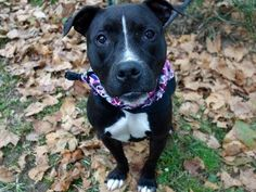 SAFE !  - 10/18/13 Manhattan Center - P~GENTOO~ID # A0981551.Spayed female black and white am pit bull ter mix. 2 YEARS old. I came in the shelter as a OWNER SUR on 10/9/13.  Gentoo is sweet and loving, quiet and calm,Likely housetrained, friendly to all, and likes to play with other dogs according to her former people. Gentoo is quiet and easy. She's also a snuggler. Gentoo is a gem looking to begin her happily ever after with you. Ask to meet her today.
