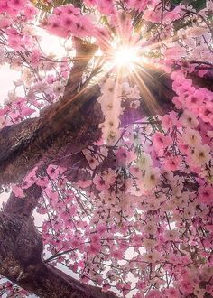 When To See Japans Cherry Blossom Trees in Full Bloom Blossom Trees, Cherry Blossoms, Cherry Blossom Pictures, Cherry Blossom Japan, Pink Blossom, Blossom Flower, Jolie Photo, Amazing Nature, It's Amazing