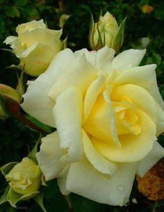 All About Yellow Flowers For Your Garden & Put A Smile On Your Face! Yellow flowers commonly evoke feelings of happiness and cheer, which is exactly what they symbolize. Amazing Flowers, Beautiful Roses, Beautiful Gardens, Flowers For You, Pretty Flowers, Hybrid Tea Roses, Love Rose, Yellow Flowers, Color Yellow