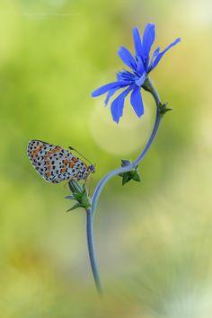 Melitaea didyma su Cichorium intybus by Raffaella Coreggioli on 500px