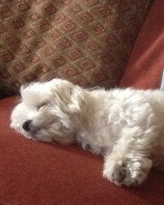 Malteses are the most wonderful dog! I love my Maltese. #Maltese