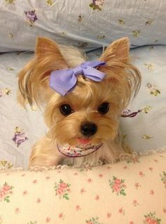 Yorkie ready for nite-nite! So adorable! Little Yorkie. Animals And Pets, Baby Animals, Funny Animals, Cute Animals, Cute Puppies, Dogs And Puppies, Corgi Puppies, Pet Dogs, Dog Cat