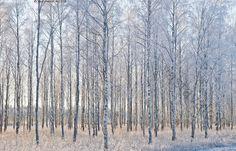 Koivuja talvella - koivu koivut koivikko koivumetsä marraskuussa puu puut runko rungot koivunrungot istutettu lehtipuu lehtipuumetsä koivunrungot koivu metsikkö metsä lumeton marraskuu syksy syysilta koivikossa lehdetön koivunrunko runko koivun rungot lumi kuura hanki pakkanen kylmä talvi talvinen metsä puusto puut lumessa kuurassa kuurapuut kuuraoksat lumiset oksat lumi lunta tammikuu talvien maisema talvimaisema metsämaisema talviluonto luonto talvivalo aurinkoinen kuulas kirkas… Shades Of Grey, Album, Trees, Painting, Inspiration, Art, Biblical Inspiration, Art Background, Shades Of Gray Color
